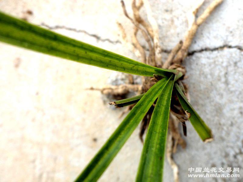 随州下山春兰-----【漂亮 蛇皮斑艺】 - 中国兰花