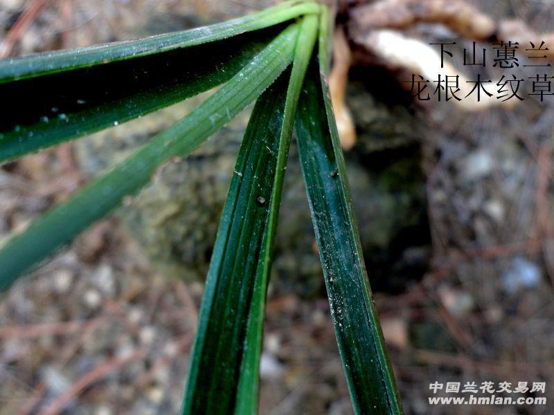 黑墨绿木纹草