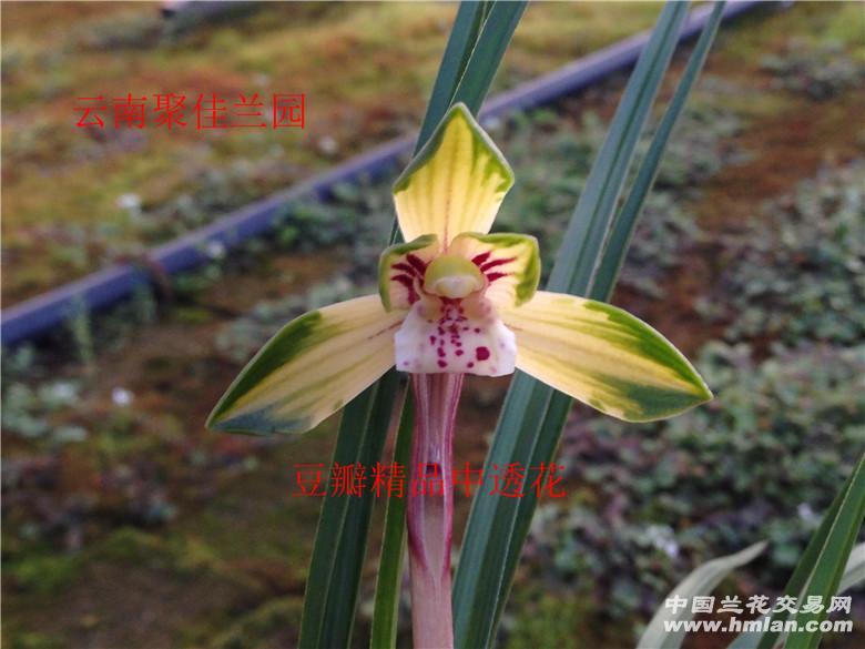 豆瓣兰品种资料 豆瓣精品紫草中透花