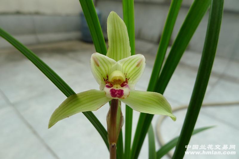 水仙根茎叶花的结构图