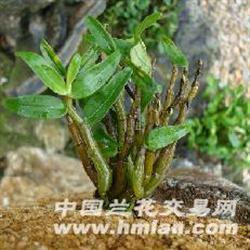 霍山铁皮石斛半年种苗驯化苗4株图片