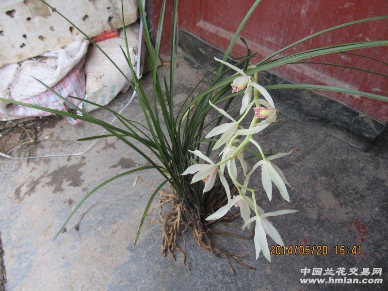 深山老林下山草,从未见花.秦岭蕙兰易出好花,新鲜品种多   ,下山