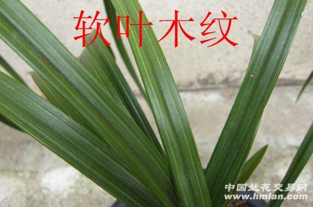 蕙兰阔叶木纹草(赌花)