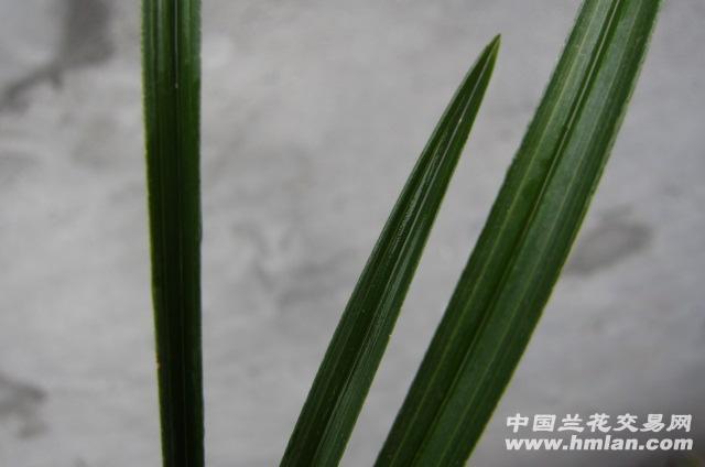 蕙兰好木纹 - 中国兰花交易网