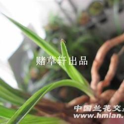 豆瓣兰中矮草水晶