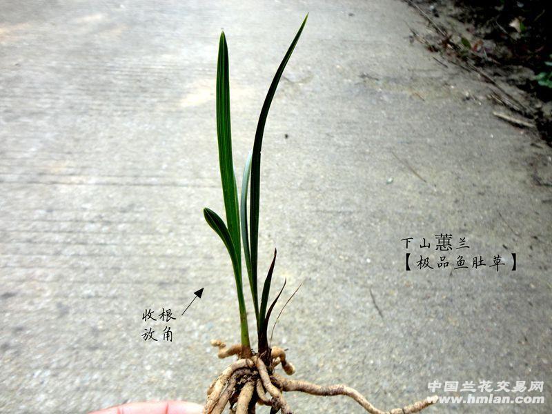 【大头草】收根放角-传说中的【蕙兰 荷瓣草!】图片