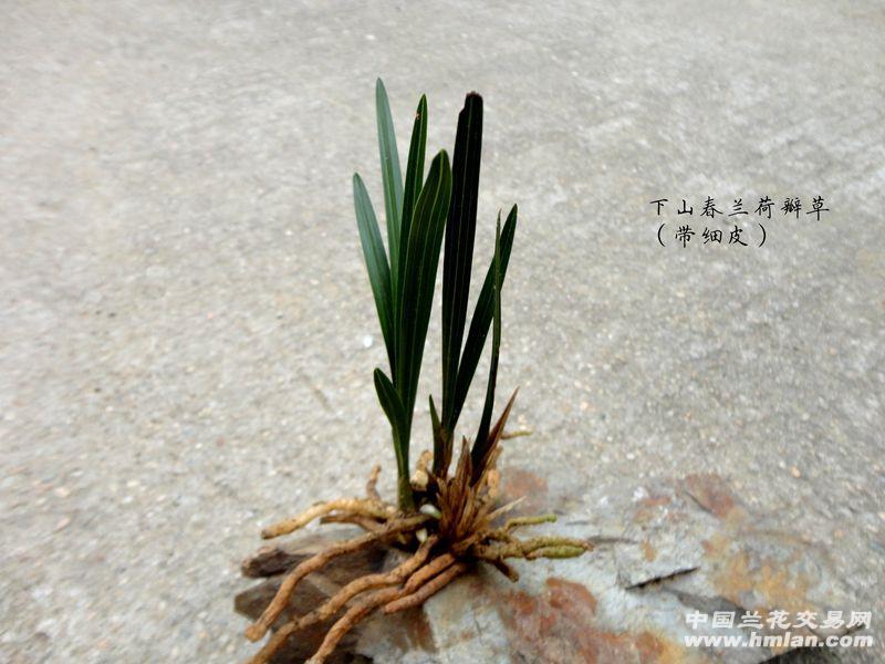精品下山春兰【带皮 叶型 钝头 荷瓣草】图片
