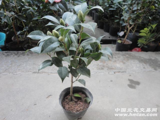 山茶花盆栽技术图片