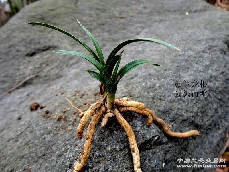 △ 下山蕙兰-【龙根 圆头 荷瓣草】图片