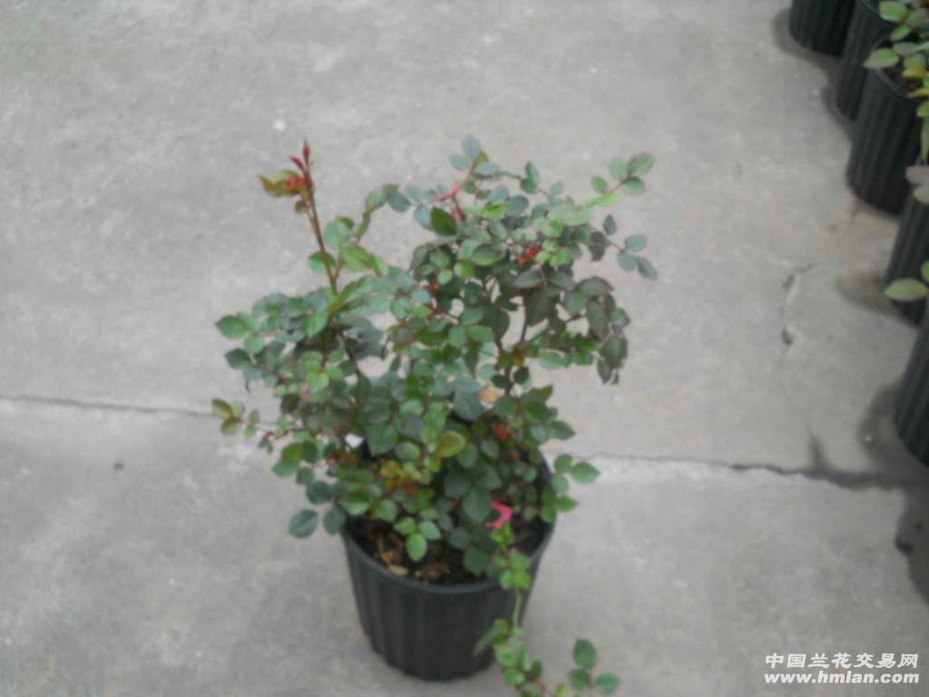 盆栽红巴黎苹果树