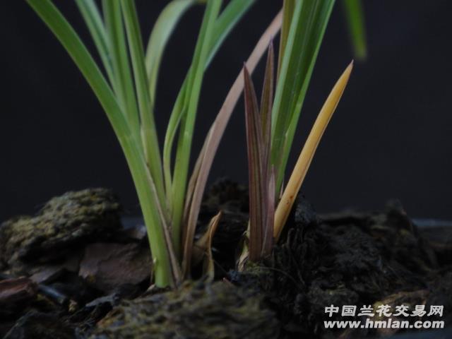 下山串种豆瓣兰有指环的紫红芽红草