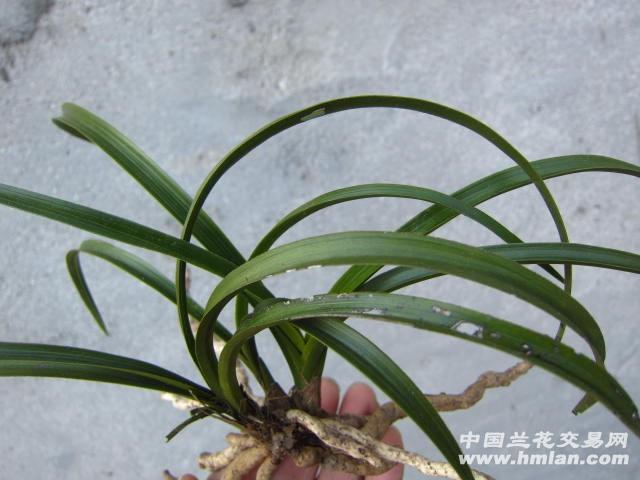 弧形叶蕙兰木纹皮草