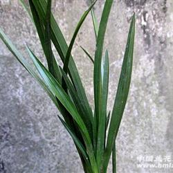 蕙兰叶子图片图片