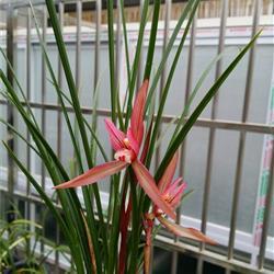 漂亮细叶春兰红花代芽图片