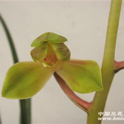蕙兰-荷瓣水仙图片